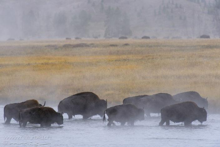 Bison Herde See