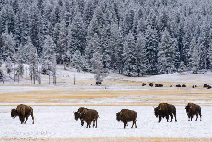 Bison Herde Winter