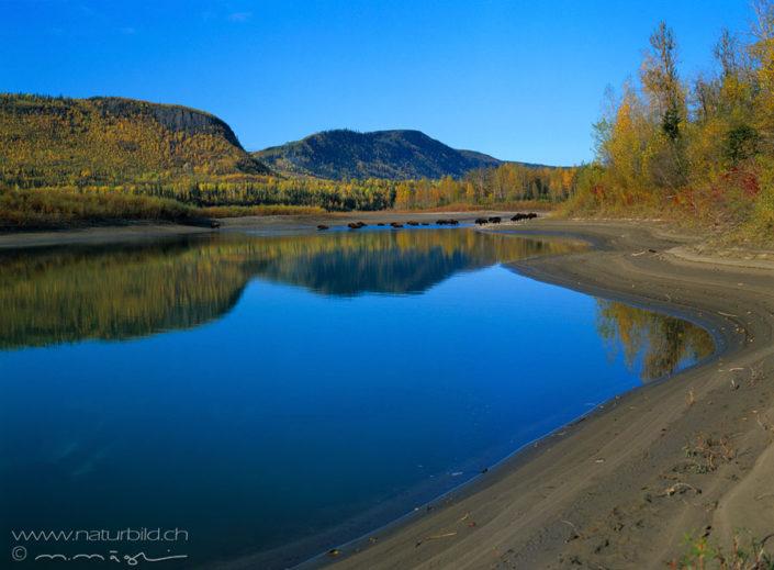 Bison See Wasser