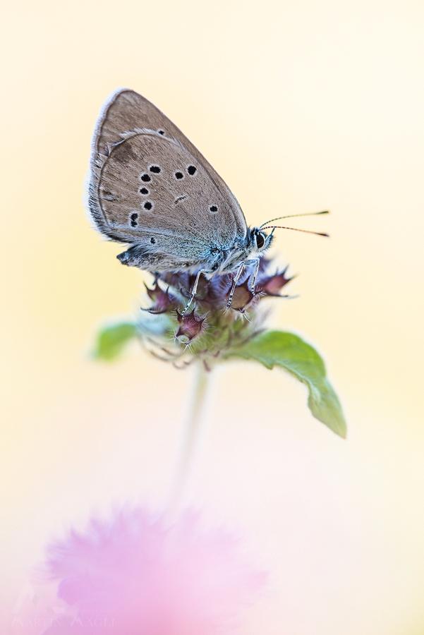 Schmetterling Bläuling Schweiz
