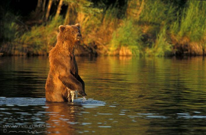 Braunbaer stehend im Fluss