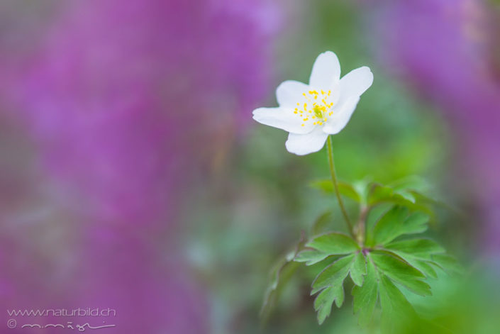 Buschwindroeschen Blume weiss