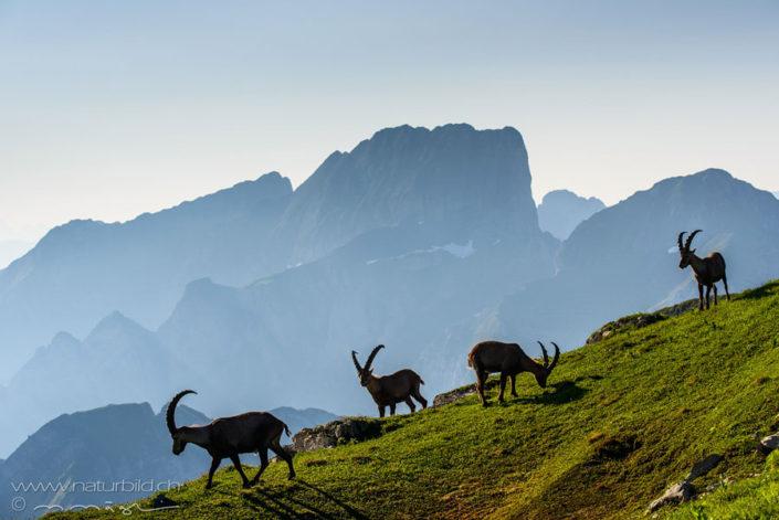Chaeserrugg Steinbock Herde