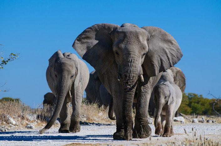 Elefanten Afrika Junges