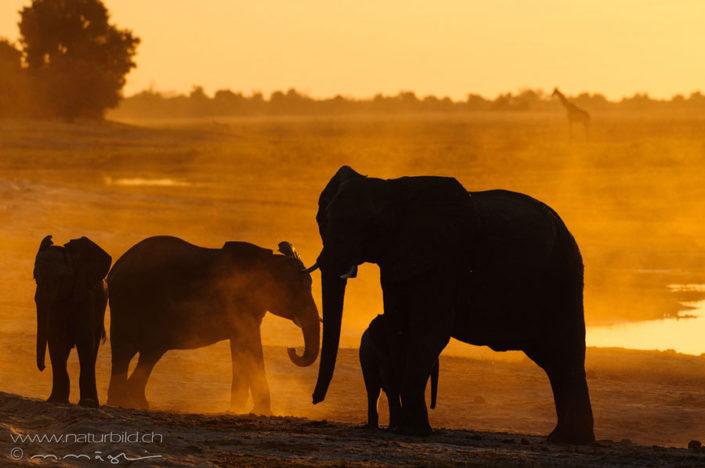 Elefant Afrika Abendsonne