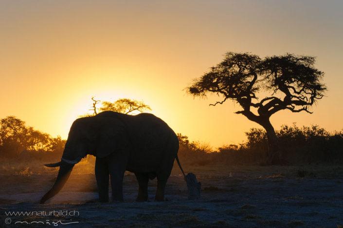 Elefant Abendsonne Afrika