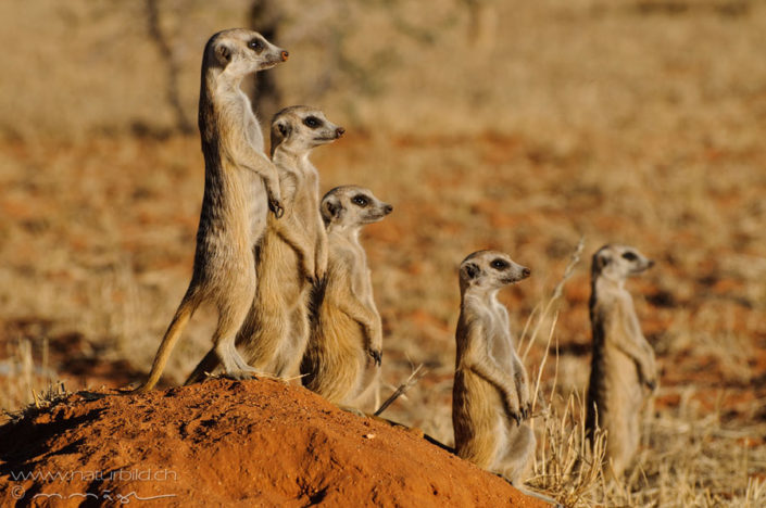 Erdmaenchen Huegel Afrika