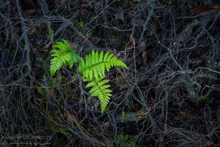 Farn Pflanze gruen