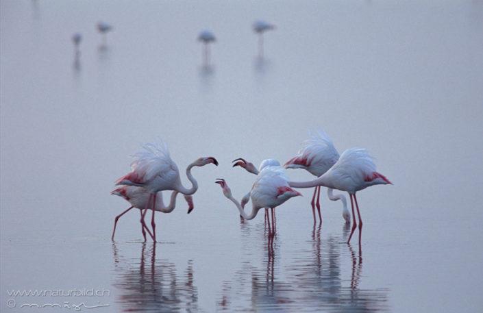 Flamingo Voegel Wasser