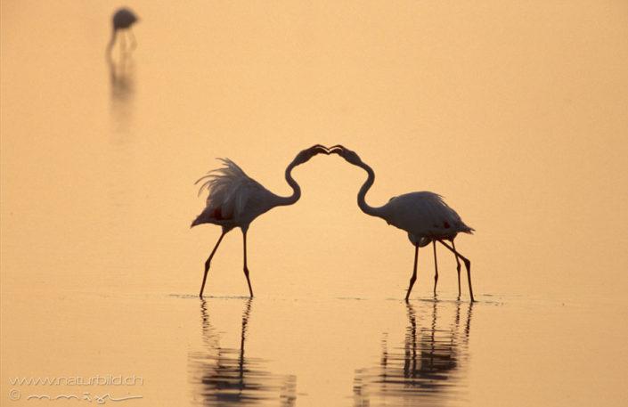 Flamingo Paar Liebe