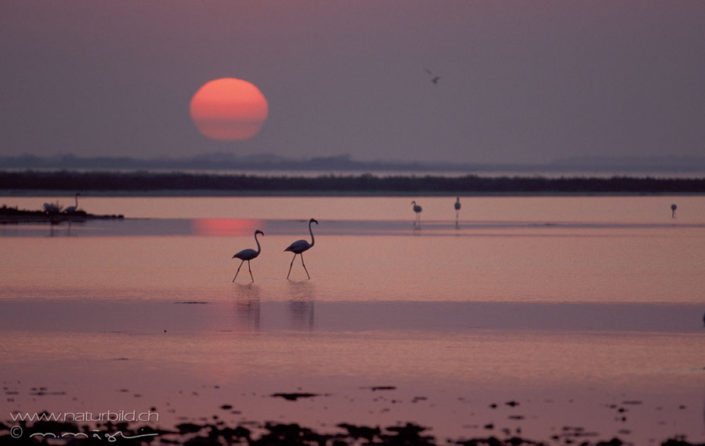 Flamingo Morgenrot See