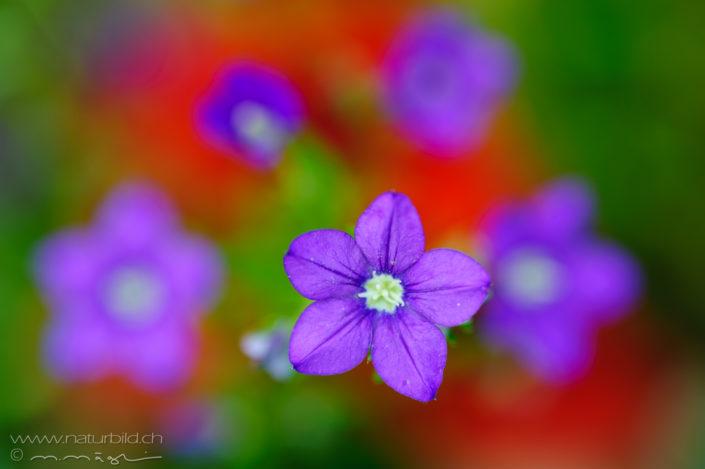 Venus Frauenspiegel violett Bluete