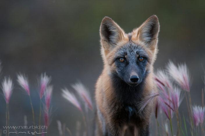 Fuchs Wildtier Gesicht