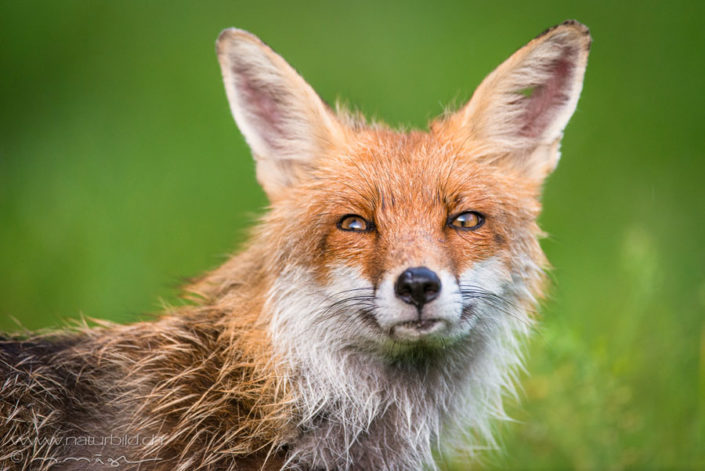 Fuchs Raubtier Angst