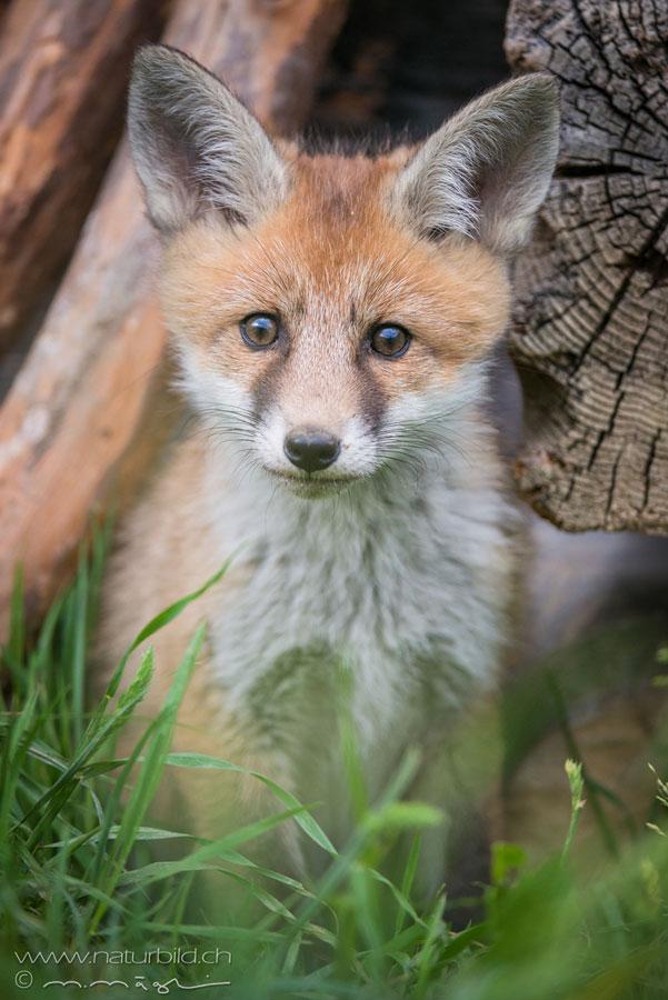 Fuchs Junges Kopf