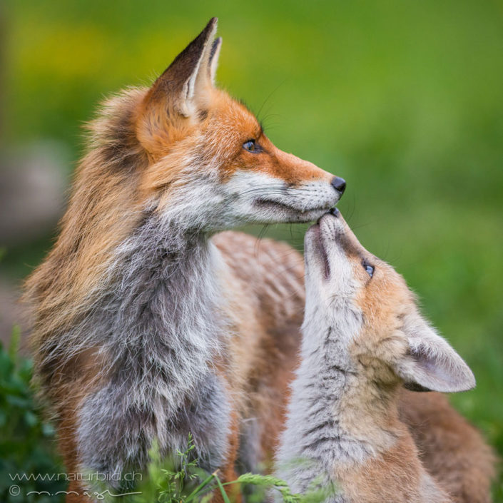 Fuchs Junges Raubtier