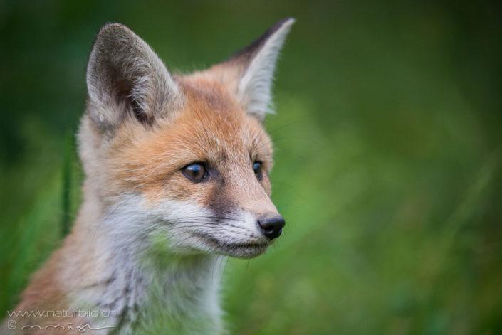 Fuchs Raubtier Kopf