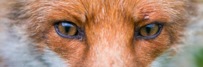 Fuchs Augen Nahaufnahme