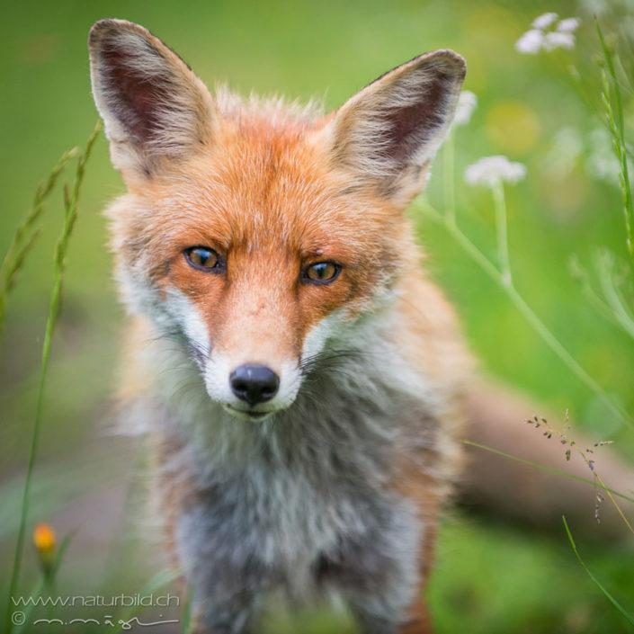 Fuchs Raubtier vorne