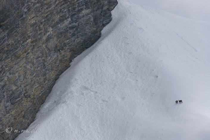 Gaemse Schneefeld Steinwild