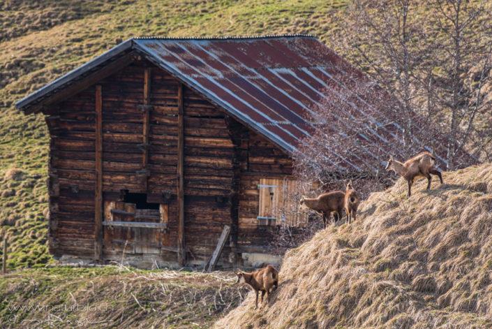 Gaemse Alp Schweiz