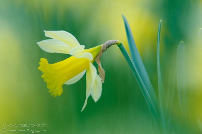 Gelbe Narzisse Bluete Pflanze