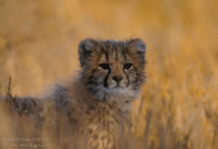Gepard Junges Wildtier