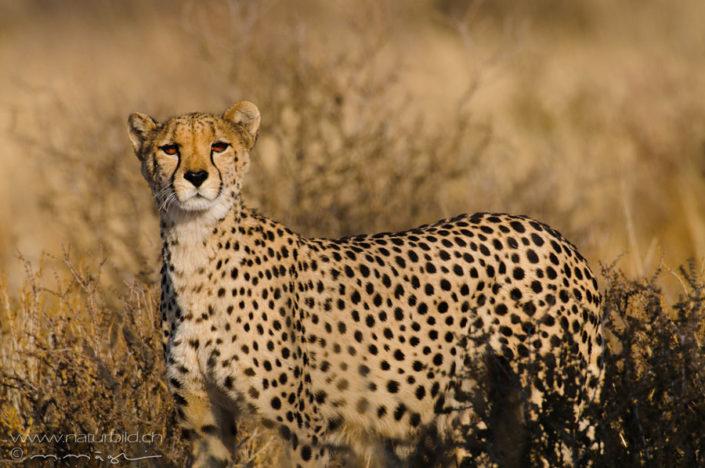 Gepard Raubtier Afrika