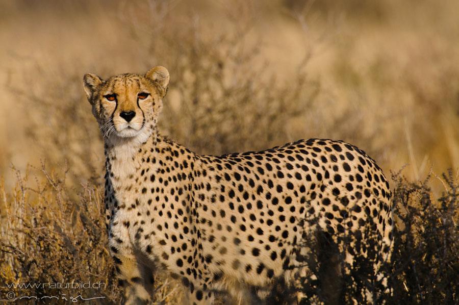 Raubtiere In Afrika