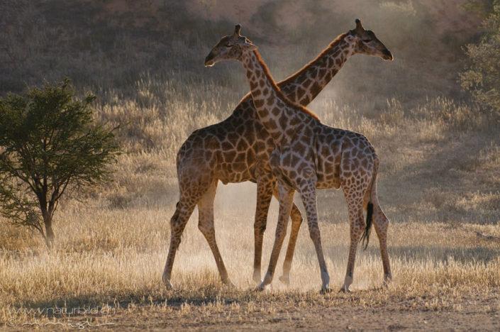 Giraffe Zwilling Paar