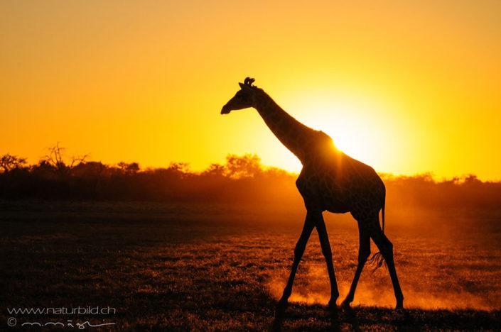 Giraffe Sonnenuntergang Silhouette