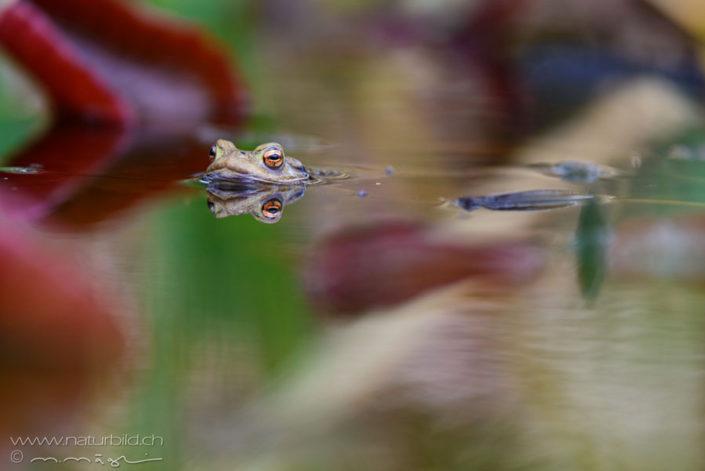 Grasfrosch See Augen
