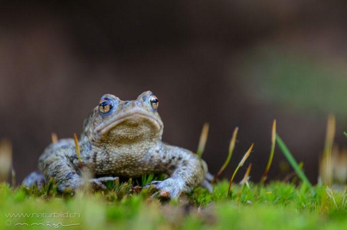 Grasfrosch Kleintier Augen