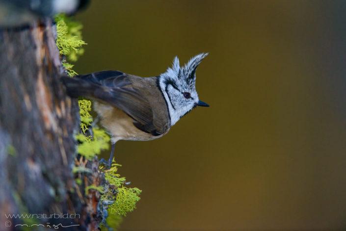 Haubenmeise Vogel Baum