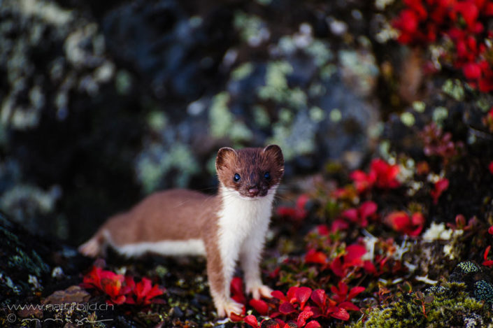 Hermelin Raubtier Blumen