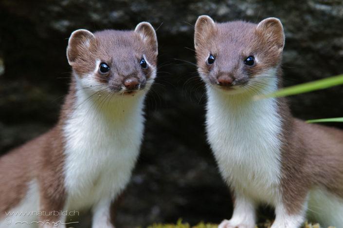 Hermelin Paar braun weiss