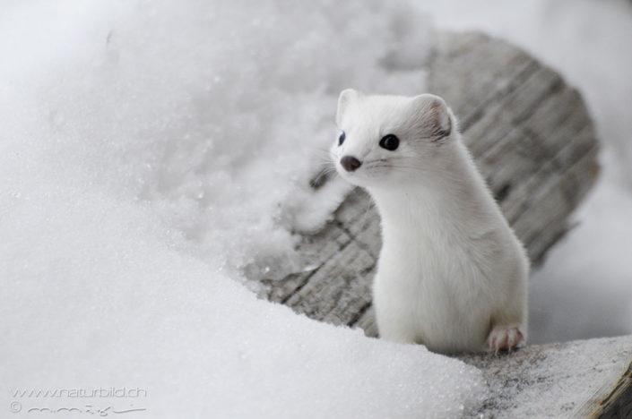 Hermelin Schnee weiss