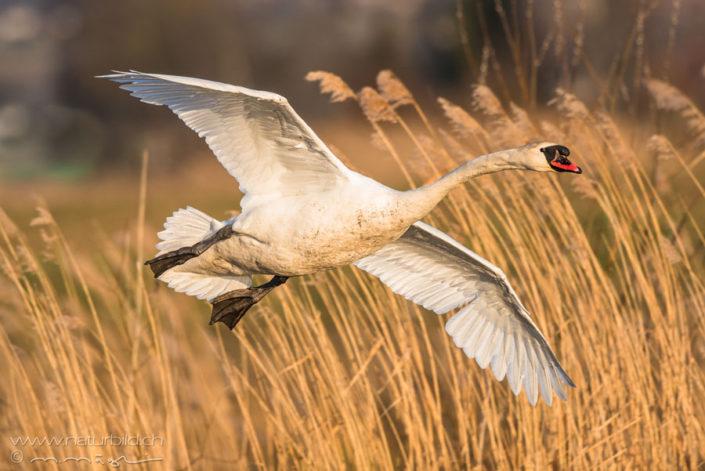 Hoeckerschwan Flug Vogel