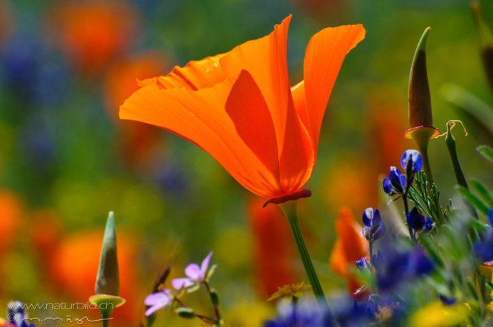 Kalifornischer Mohn Blume rot