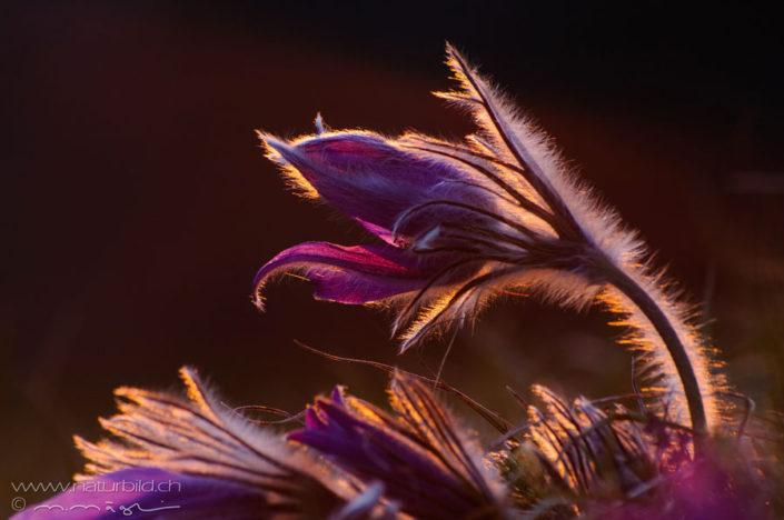 Kuechenschelle Blume violett