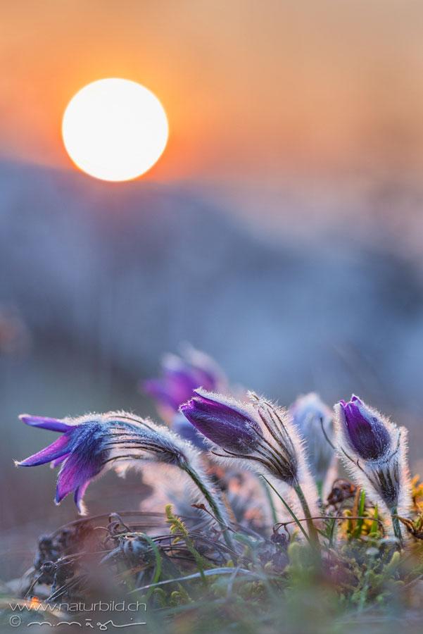 Kuechenschelle Bluete Sonnenuntergang