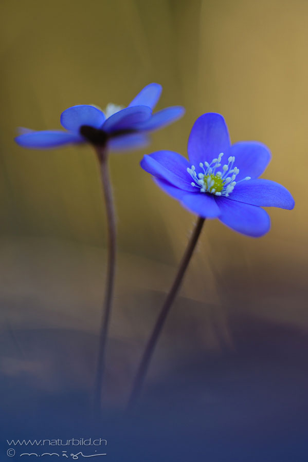 Leberblume Bluete blau