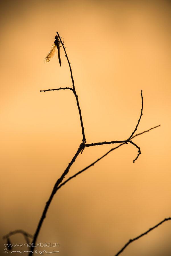 Libelle Ast Insekt