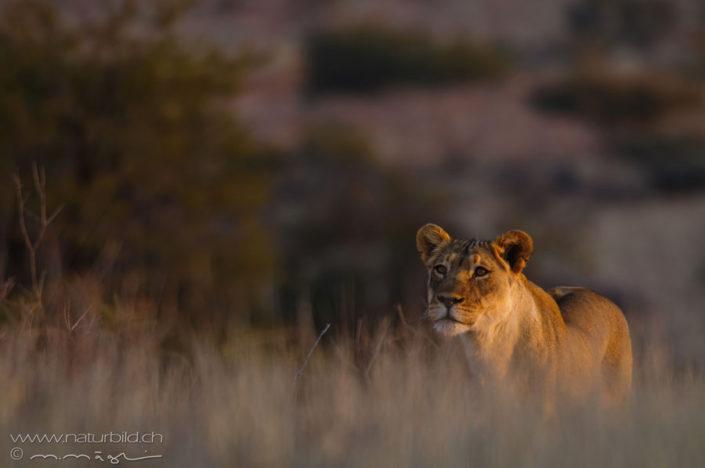 Loewe Afrika Weibchen