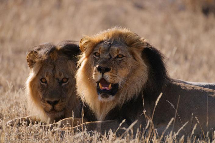 Loewe Paar Afrika