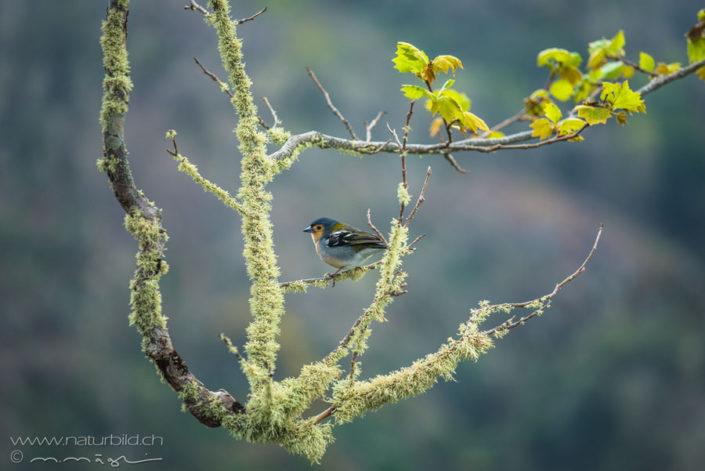 Vogel Madeira Ast