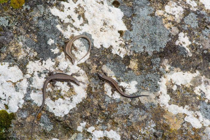 Madeira Mauereidechse Stein