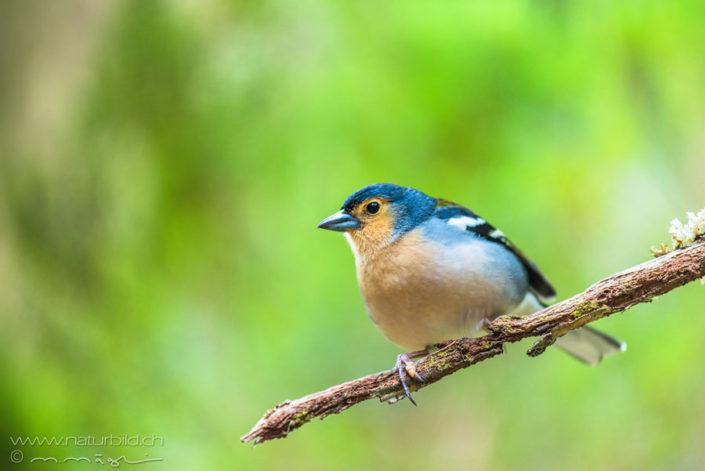 Madeira Buchfink Vogel blau
