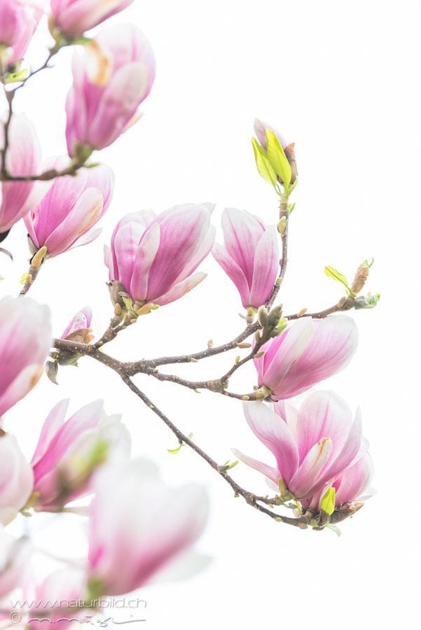 Magnolie Bluete Pflanze