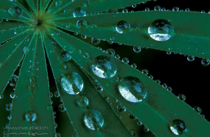 Makro Pflanze Wasserperle Blatt